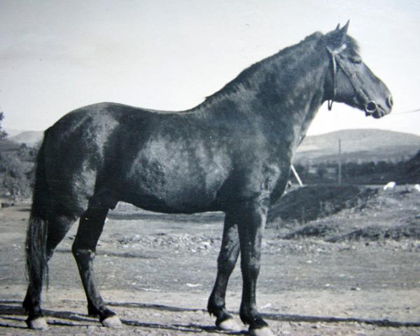 Koń rasy hucuł - zdjęcie archiwalne