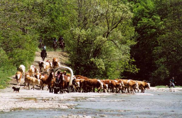 Кільканадцять осіб на спинах гуцульських коней переганяють 100-200 штук ВРХ долиною Вислоку упродовж кільканадцяти кілометрів
