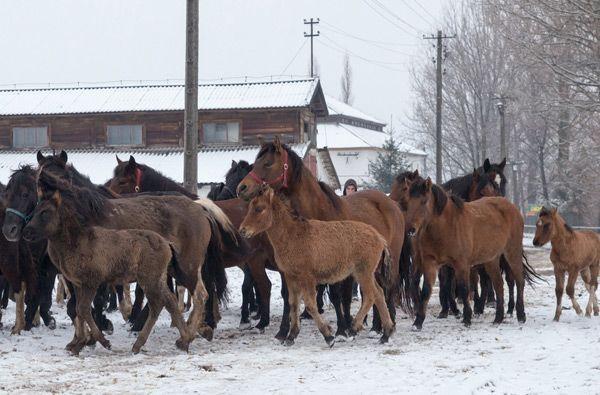 Заклад займається гуцульських коней